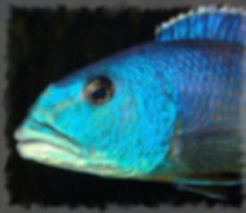 Aristochromis christyi1.jpg