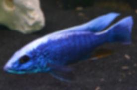 Sciaenochromis fryeri Maleri