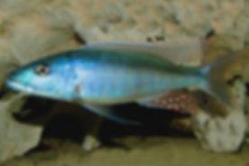 Champsochromis caeruleus Chizumulu Island