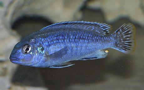 Melanochromis dialeptos Lumessi