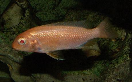 Tropheops sp. albino red head