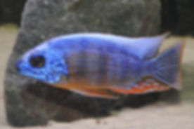 Protomelas sp. steveni taiwan Taiwan Reef