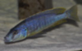 Stigmatochromis spilostichus Likoma