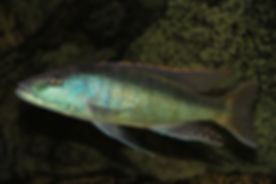 Champsochromis spilorhynchus Mazinzi Reef