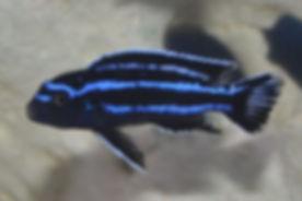 Melanochromis cyaneorhabdos Maingano Island