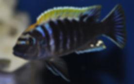 Cynotilapia sp. mbamba Luwino Reef