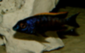 Otopharynx lithobates black Orange Dorsal