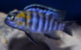 Tropheops sp. red cheek Likoma