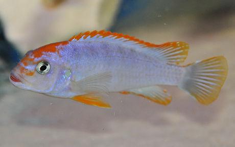 Pseudotropheus perspicax orange cap 5a.j
