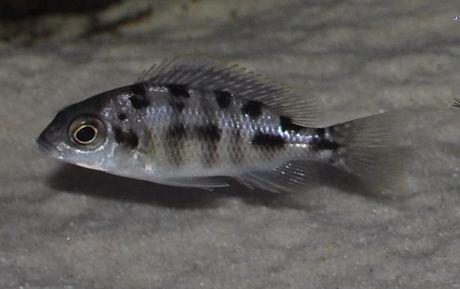 Protomelas sp. steveni taiwan Ngkuyo Reef