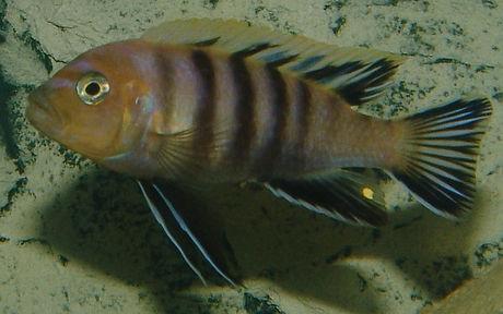 Cynotilapia sp. Lion's Cove