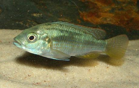 Astatotilapia calliptera Chizumulu