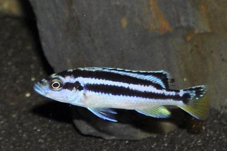 Melanochromis kaskazini Manda