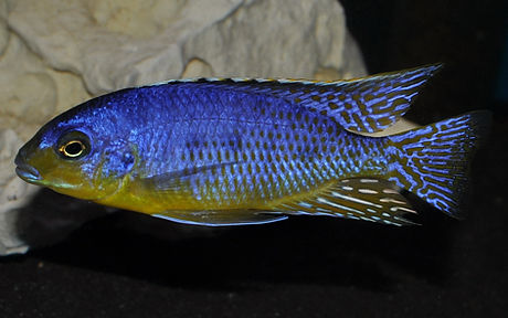 Protomelas virgatus Pombo Reef