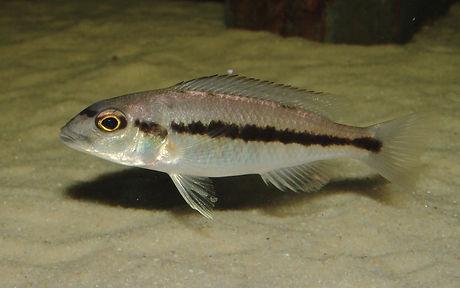 Taeniochromis holotaenia Nkhomo Reef