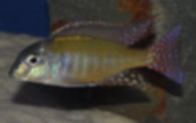 Lethrinops sp. albus Kande