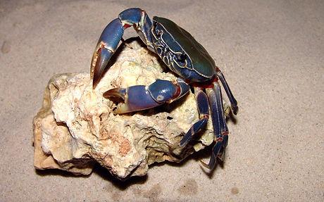 Potamonautes orbitospinus Malawiseekrabb