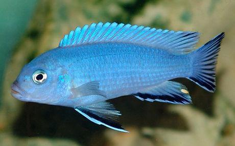 Pseudotropheus socolofi 6a.jpg