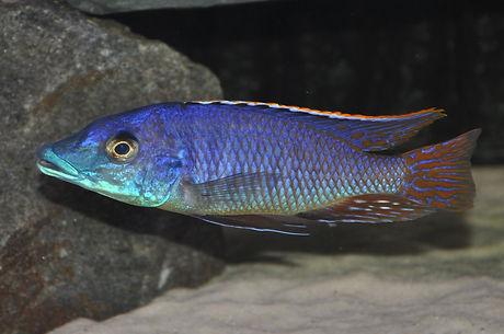 Mylochromis sp. lateristriga makanjila Makanjila