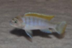 Cynotilapia zebroides Jalo Reef