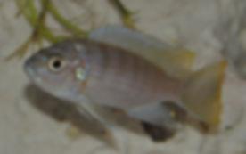 Cynotilapia sp. Chinyankwazi