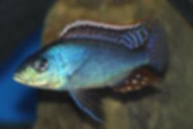 Protomelas similis Likoma