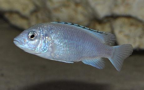 Labidochromis caeruleus Nkhata Bay