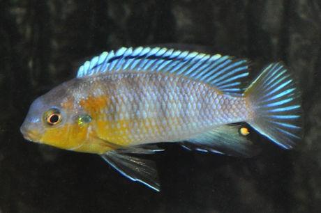 Tropheops sp. lilac Thumbi West