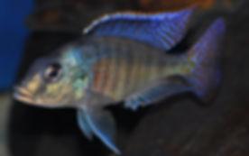 Mylochromis sphearodon Senga Bay