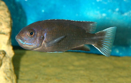 Pseudotropheus acei ngara (7).BMP