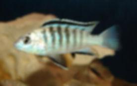 Labidochromis caeruleus Lundo