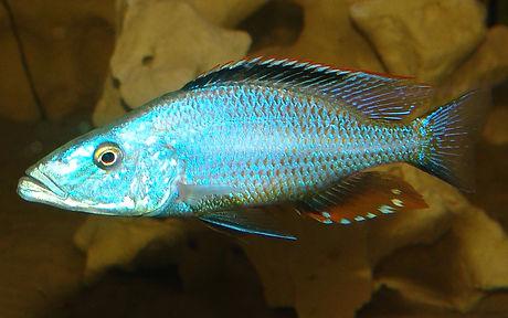 Dimidiochromis compressicesps Masinje