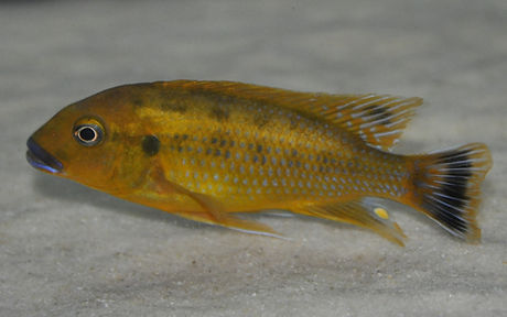 Pseudotropheus williamsi Makonde 1.jpg