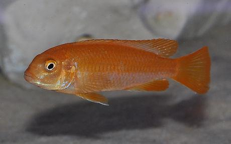 Melanochromis interruptus Chizumulu (2).