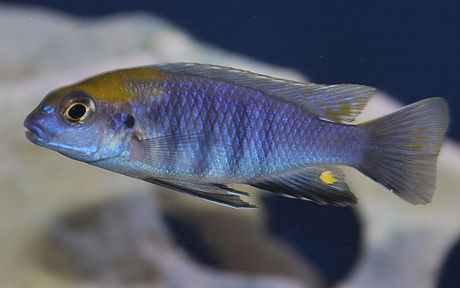 Tropheops sp. macrophthalmus chitimba Chitimba Bay