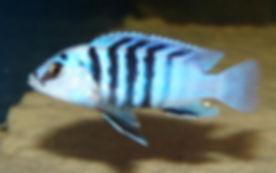 Labidochromis caeruleus Chizumulu