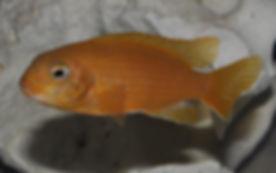 Tropheops sp. black dorsal Eccles Reef