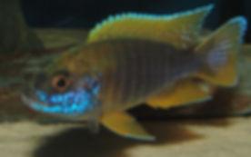 Aulonocara jacobfreibergi Undu Reef (5).