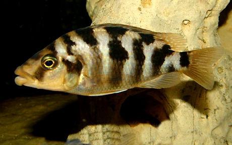 Placidochromis milomo Mbenji