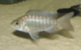 Aulonocara jacobfreibergi Undu Reef (8).