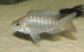 Aulonocara jacobfreibergi Undu Reef