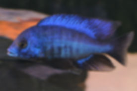 Protomelas annectens Chizumulu