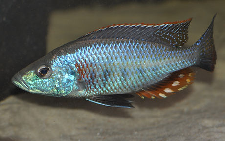 Dimidiochromis strigatus Kampiri Point