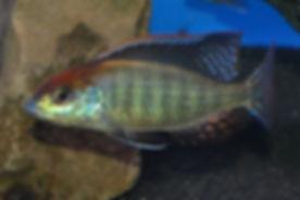 Lethrinops sp. red cap Itungi