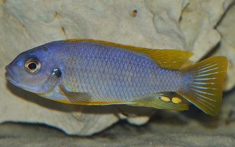 Petrotilapia sp. Chitimba (5).jpg