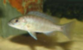 Sciaenochromis fryeri Mbenji Island