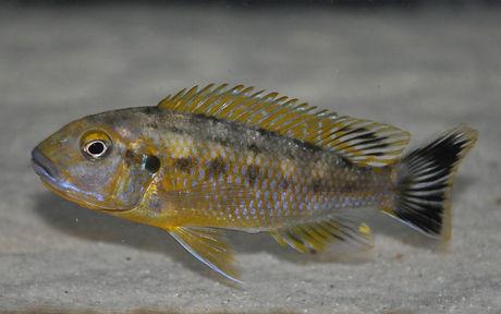 Pseudotropheus williamsi Makonde 0.jpg