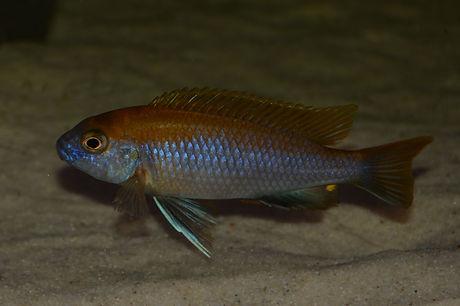 Gephyrochromis lawsi Nkhata Bay