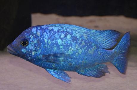 Placidochromis phenochilus Lupingu