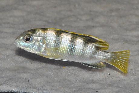 Labidochromis perlmutt Higga Reef